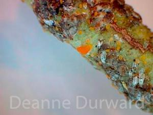 Euonymus Scale (tiny orange crawlers)