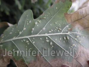 grnpeachaphidquercus
