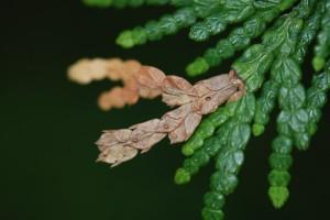 CLM Larval Damage and ExitHole