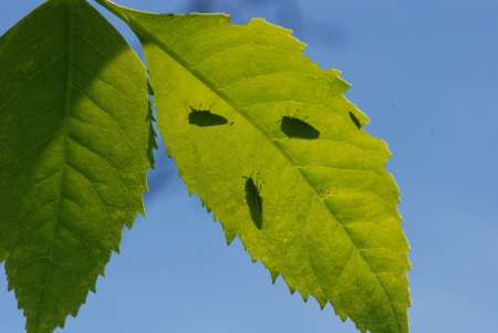 EAB adults casting shadows on leaves (Markham)