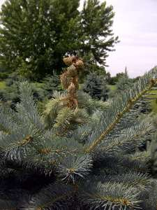 White Pine Weevil injury on Colorado spruce terminal