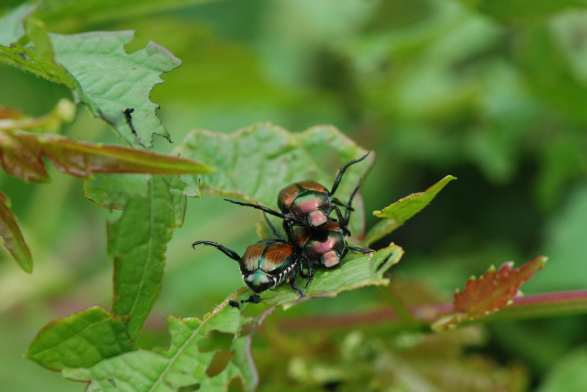 adult Japanese Beetles mating and feeding on foliage
