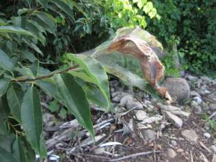 FallWebworm