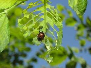 Japanese Beetle Feeding on Leaf