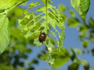 Japanese Beetle Feeding on Leaf