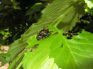 Japanese Beetle Mating Pair