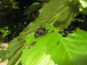 Japanese Beetle Mating Pair