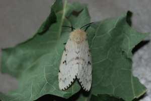 FemaleGypsyMoth (Lymantria dispar)
