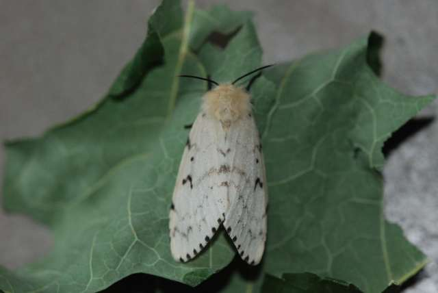 FemaleGypsyMoth (Lymantria dispar)