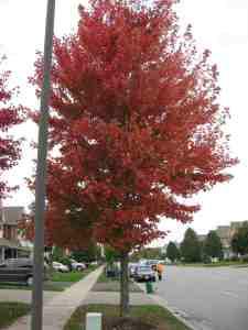Autum Blaze maple in fall