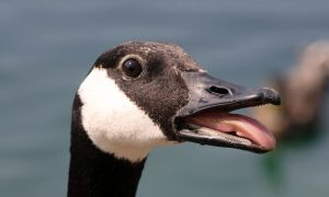 canada-goose head (Steve Cotton)