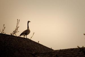 Rooftop Goose (Ann Pagel Newman)