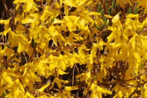 ForsythiaBloom
