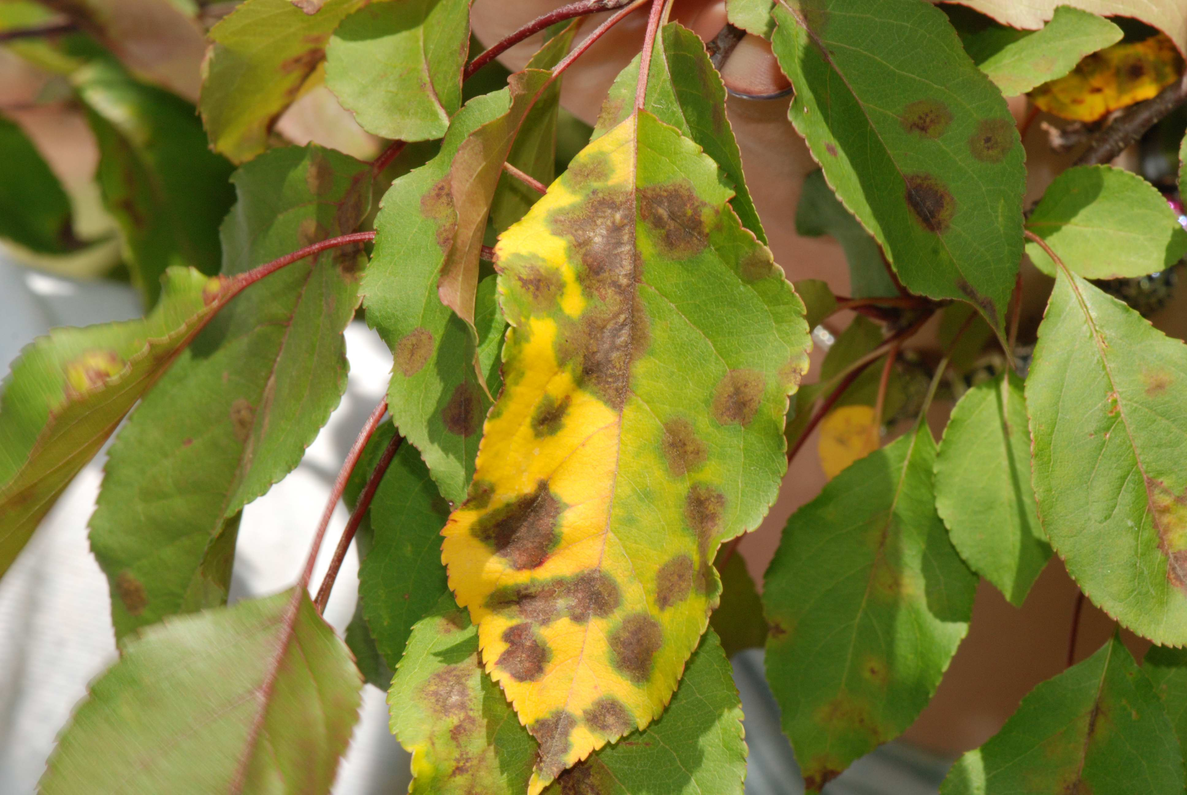 Yellow, distorted and disappearing leaves? | onnurserycrops