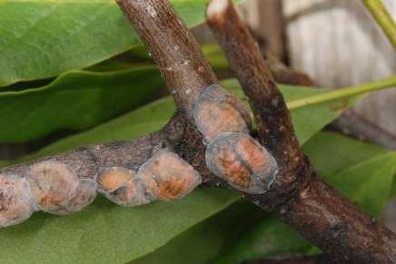 MagnoliaScaleJuly28