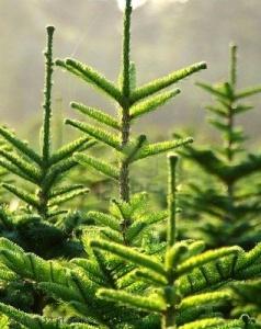 Ottawa_Tree_Farm_Christmas_trees