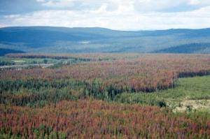 CO_pine_beetle_forests