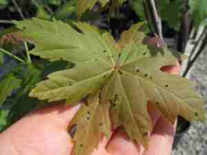 acer- gall mite- Eriophyidae