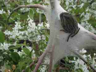 blooming malus- tent caterpillar