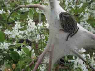 blooming malus- tent caterpillar