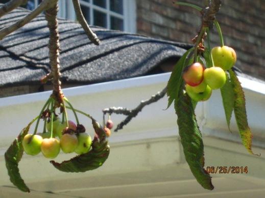 PrunusLeafLoss