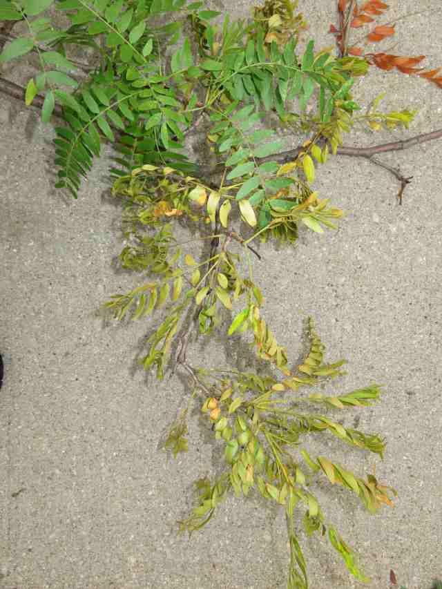 BranchYellowing