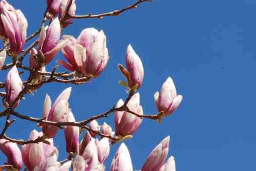MagnoliaSoulangiana