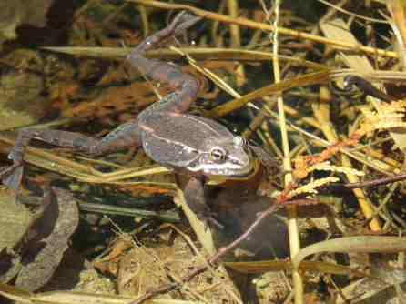 wood frog JLA