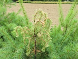 white pine- white pine weevil damage