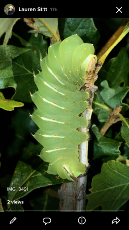 This Polyhedrus moth larvae was photographed in a nursery this week by LO Nursery Scout, Lauren Stitt.  Polyhedrus moths feed on foliage of common trees and shrubs and, well, look like they are good at it.  But they usually are found individually, so ENJOY and don't destroy!