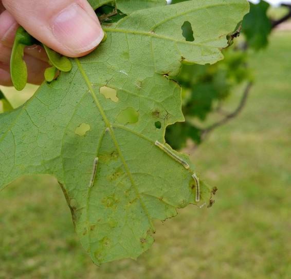 FallCankerwormLarvaSugMapleJLA_bb crop