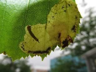 Birch Leafminer Larvae