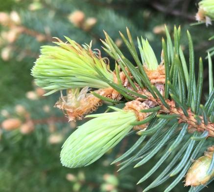 SpruceShootsEmerge