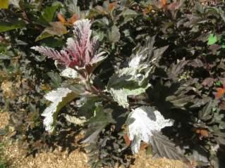 PM Physocarpus
