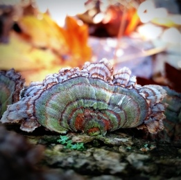 "University of Guelph's very own Shelly Hunt says ""this Turkey Tail puts the -fun- in fungus"". Shelly captured this beautiful polypore on a fallen log in Victoria Woods of U of G's Arboretum. Check out mushroomexpert.com"