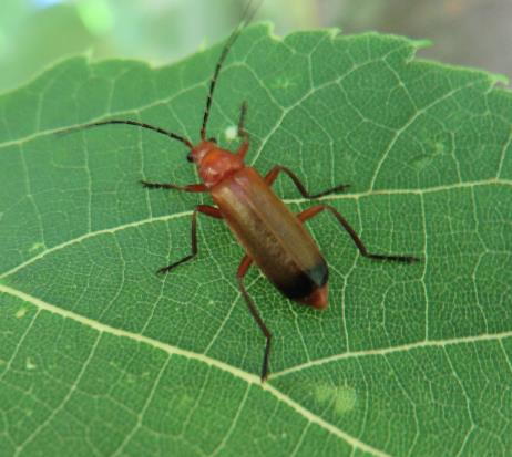 CommonRedSoldierBeetleCT