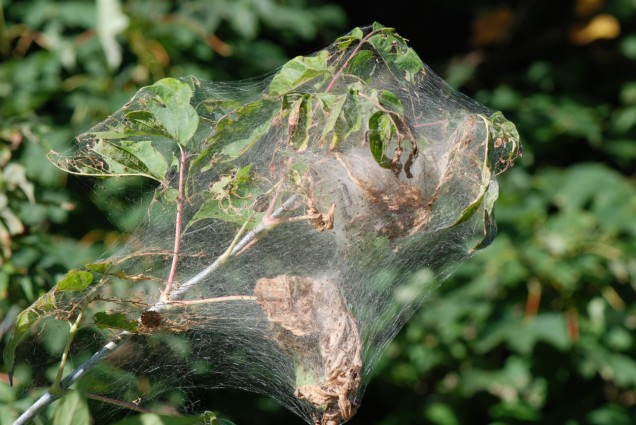 Its beginning to look a lot like...Fall Webworm! (Hyphantria cunea) Populations look higher than usual for this time of summer. Remove young colonies where possible and manually destroy. They produce several generations a year.