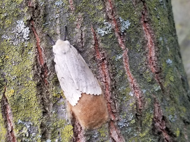 Adult Female Gypsy moth (white) with brown, fuzzy-looking eggs mass behind her